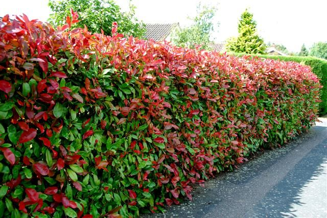 Photinia red robin screening and hedging plant for Fast growing fence covering plants