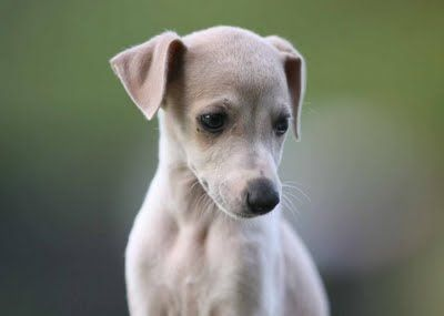 if I ever buy another dog it'll be a whippet, they have such a placid nature.