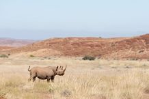Desert adapted black rhino in Namibia. Save the Rhino Trust works with other stakeholders to protect this unique species. #Safari #Africa #Namibia #WildernessSafaris