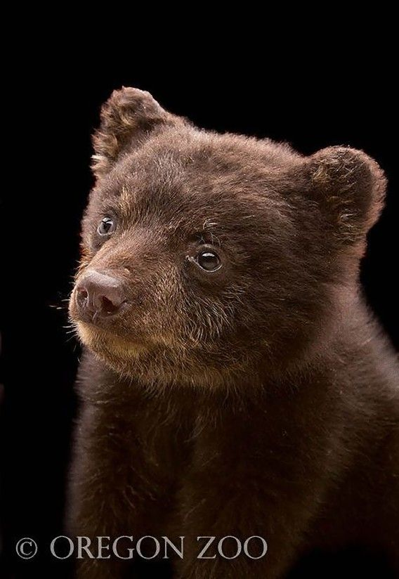 Oregon Zoo: 28 Best Baby Black Bear Images On Pinterest