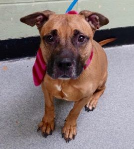 My name is BLUE aka KYOTO.  My Animal ID # is A1063019. I am a neutered male tan and black black mouth cur and am pit bull ter mix. The shelter thinks I am about 4 YEARS old.  I came in the shelter as a OWNER SUR on 12/29/2016 from NY 10030, owner surrender reason stated was NEW BABY.