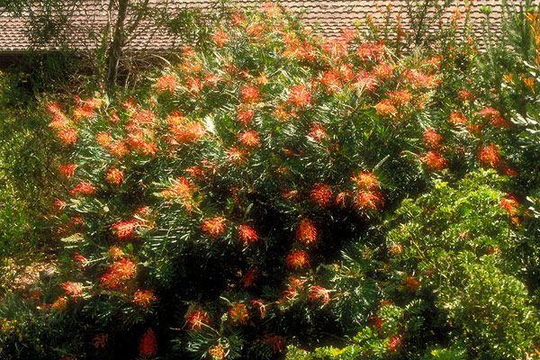 Grevillea 'Ned Kelly' - some frost tolerance