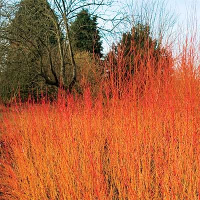Red Twig Dogwood*grown for the color of stems once leaves drop.Leaves of most varieties also turn brilliant red or reddish purple before they fall. For the reddest stems, look for 'Arctic Fire' it grows 3- 4 ft tall &'Baileyi' which is twice as big. Yellow-twig dogwoods, such as 'Flaviramea' also have reddish-purple leaves in fall. Red-twig dogwoods with variegated foliage vary in fall color. All types have clusters of white flowers in spring & white to red-purple fruit that birds enjoy.