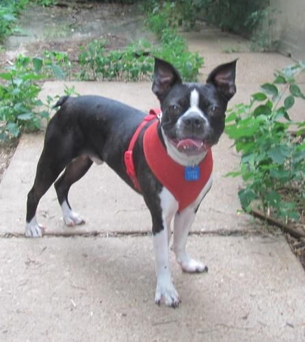 boston terrier rescue missouri 14 best images about dogs on pinterest puppys read more 3747