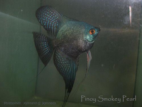 102 Best Angelfish Images On Pinterest Aquarium Fish