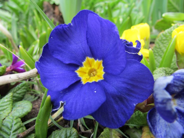 Blue Flower - This great photo shows the colour and life within this new spring flower.