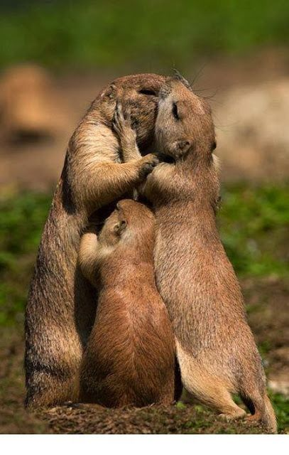 love... - prairie dogs