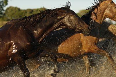 ♥hoяsєs♥: Pantaneiro. Pantaneiro horse (bogtrotter). Brazil. More in http://www.semanaon.com.br/coluna/2/602/cavalo-pantaneiro-simbolo-regional-de-resistencia