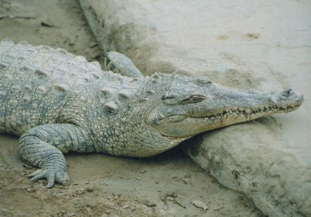 Los crocodílidos son una familia de saurópsidos arcosaurios comúnmente conocidos como cocodrilos. Incluye a 14 especies actuales. Se trata de grandes reptiles semiacuáticos que viven en las regiones tropicales de África, Asia, América y Australia.