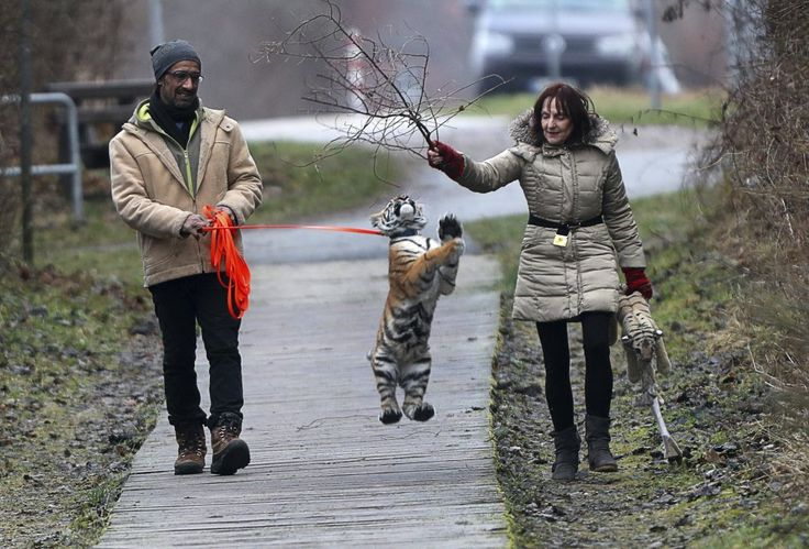 """Elsa è un cucciolo di tigre di quattro mesi che - nato in un circo itinerante - è stato rifiutata dalla madre dopo il parto. La piccola tigre siberiana è stata adottata da una coppia che gestisce un parco a Dassow, in Germania, dove vivono 13 tigri adulte e 5 leoni. Monica Farell e Saad Rose hanno iniziato a prendersi cura del felino portandolo a spasso nella spiaggia e facendolo giocare persino in città. """"E' come avere un bambino - ha dichiarato Monica - ..."""