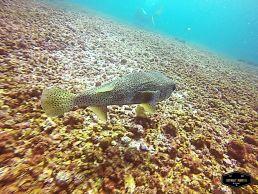 Puffer fish in Komodo National Park, Indonesia Pez globo en el Parque Nacional de Komodo, Indonesia