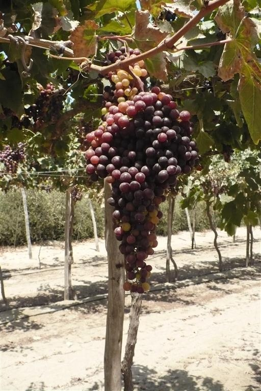 "Moscatel grape   The Spanish word ""muscatel"" comes from the Catalan Moscatel. Its origin is possibly from Alexandria, hence one of its most prominent names.  Caracteristics  This variety is purplish pink of good vigor, it is used for the production of aromatic Pisco and mistelles and harvested from February to March. Bunch and berries  The bunches are conical, medium elongated, loose and oval berries,  small to medium size with an average diameter of 1.4 cm.  Diseases  Resistant Oidium…"