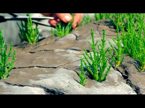 Find food for free; how to forage for samphire - YouTube