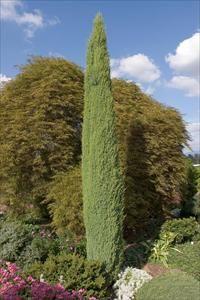 137 Best Images About Juniperus Kadagys On Pinterest