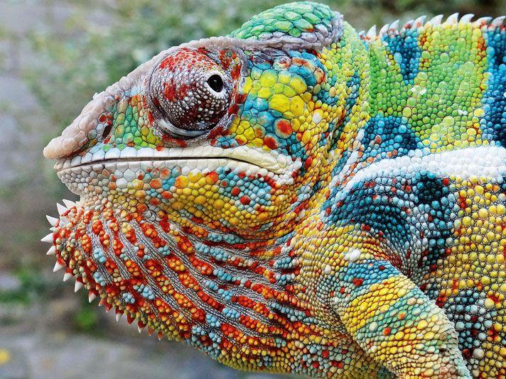 Tree Candy Chameleons Chameleon Beautiful Creatures Lizard
