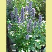 Wilde Plantenkwekerij De Zandhoogte verkoopt wilde planten, inheemse bomen en struiken. Tevens kunt u bij De Zandhoogte terecht voor advies, ontwerp en aanleg van uw natuurtuin. Agastache foeniculum