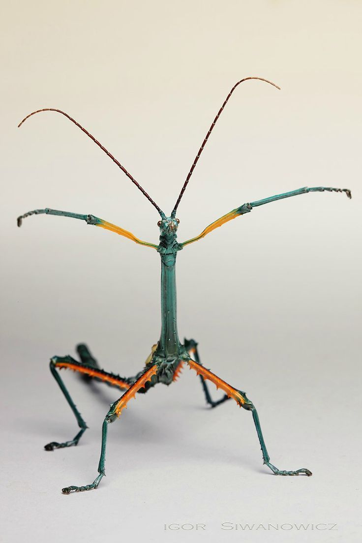 Achrioptera Fallax Male Photo By Photographer Igor Siwanowicz