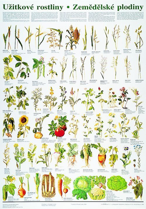 Užitkové rostliny / zemědělské plodiny - nástěnná tabule ( 67x96 cm ) | ALBRA - Prodej a distribuce učebnic