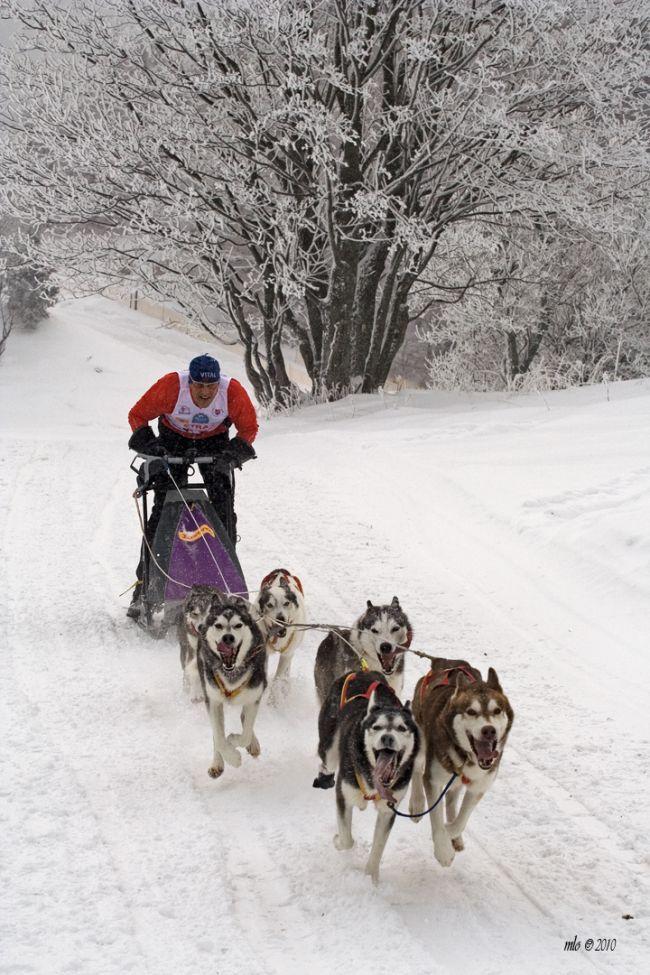 PRETEKY PSÍCH ZÁPRAHOV. Sledge dog race, Donovaly, Slovakia.