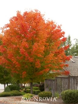 Monrovia's October Glory® Red Maple details and information. Learn more about Monrovia plants and best practices for best possible plant performance.