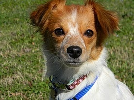 Abby Is An Adoptable Papillon Dog In Athens Ga Please Contact Kati Mailto Dogs Athen For More Information About This Pets Papillon Dog Animals Friends