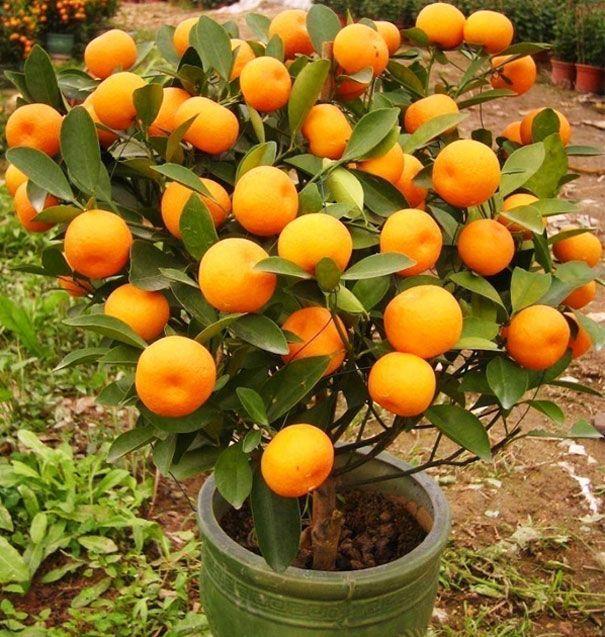 arbol de mandarinas