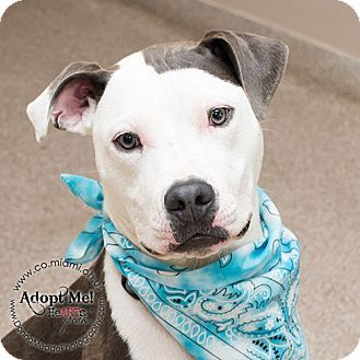 Troy, OH - Pit Bull Terrier. Meet Smitty, a dog for adoption. http://www.adoptapet.com/pet/13402480-troy-ohio-pit-bull-terrier