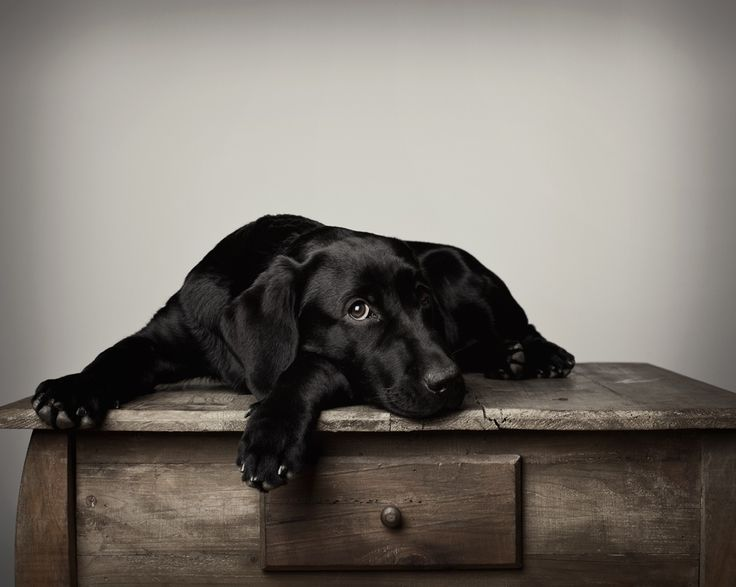 Black Lab puppy... now, how do I get down?