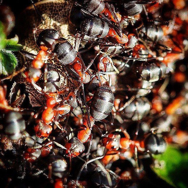 The sun brought out the red ants. Het zonnetje zette de rode mieren aan tot arbeid. #Spring #Staatsbosbeheer_featureme #hollandsduin #lente #nature #n2000 #naturinsta #naturelover #noordwijk #instanature