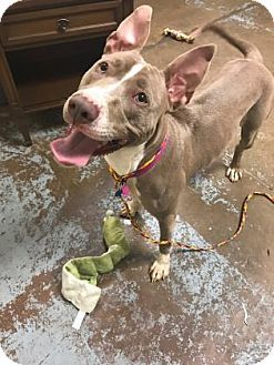 Brownie - URGENT - Animal Care & Control Team of Philadephia in Philadelphia, Pennsylvania - ADOPT OR FOSTER - 2 year old Spayed Female Pit Bull Terrier Mix