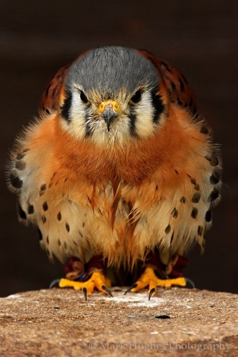 The American Kestrel sometimes colloquially known as the Sparrow Hawk, is a small falcon, and the only kestrel found in the Americas. It is the most common falcon in North America, and is found in a wide variety of habitats. At 19–21 centimeters (7–8 in) long, it is also the smallest falcon in North America. Photo: Mark Hughes Photography.