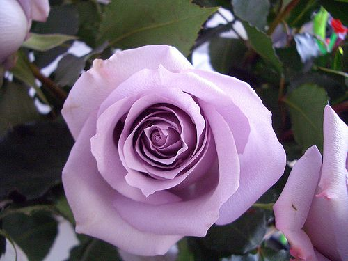A Violet rose represents love at first sight, elegance, enchantment, fantasy, and dignity.