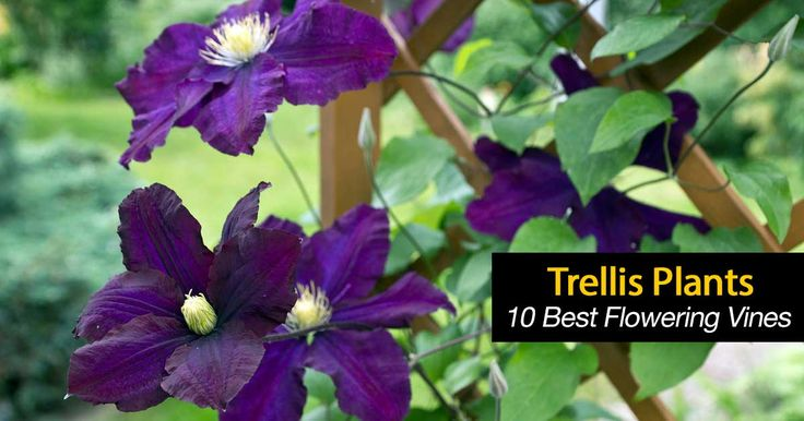 Choosing the ideal trellis plants is challenging. Plenty of climbing plants, flowering vines exist each holding a beauty and characteristic. [LEARN MORE]