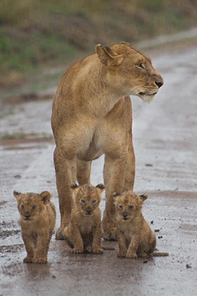 """Lioness With Her Cubs: """"Mom! It's raining, we're getting wet!"""""""