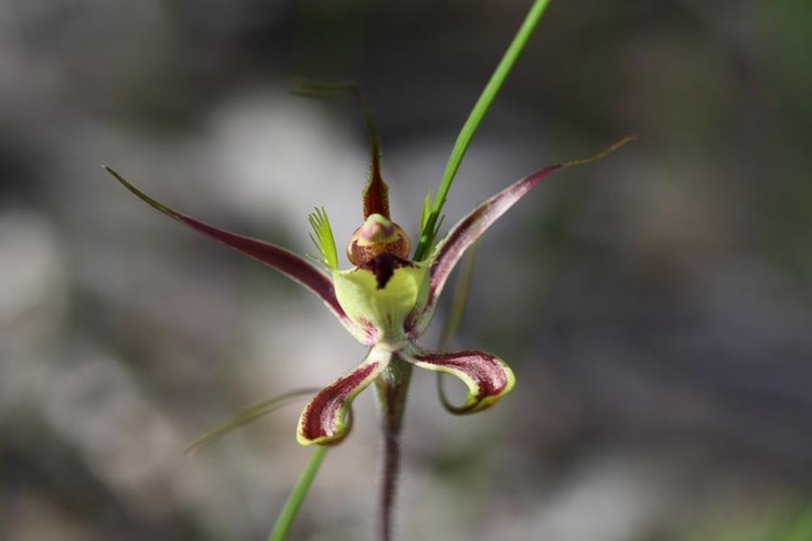 Fringed Mantis Orchid, found in the Southern Wheatbelt. Photo by Mary Naisbitt, Lake Grace Camera Club