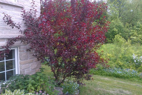 purple leaf sand cherry shrubs. South/East corner