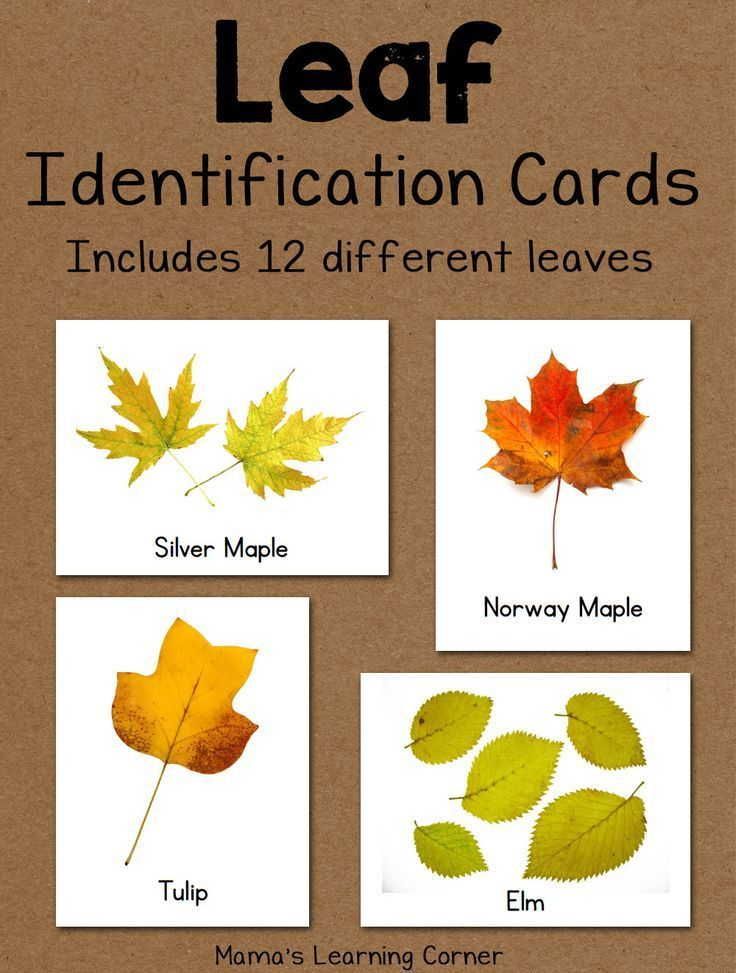 Download a set of 12 leaf identification cards for your young learners!