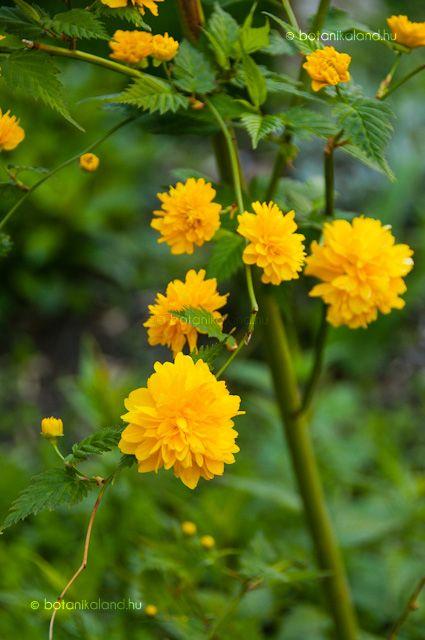 Boglárkacserje - Kerria japonica - Napos, félárnyékos helyet kedvel. Tőosztással, fás és zölddugvánnyal szaporítható.