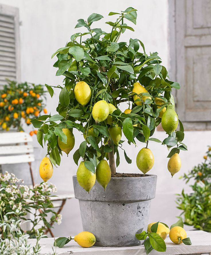 mejores 91 imágenes de limoneros en maceta&. en pinterest
