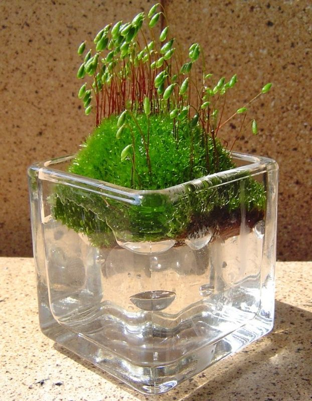 Moss was Nokkari aqua ball favorite. This is the moss of roadside found in the walks of daily routine. That place of the slope of the mountain stone wall water vent embedded in the PVC pipe in the ... ...