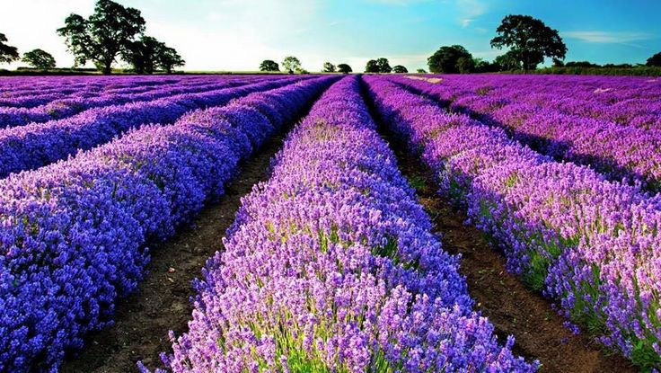Red Oak Lavender Farm in Dahlonega, Ga. Photo from Facebook.