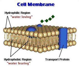 Simple Cell Membrane Diagram - Bing Images | Biology | Pinterest ...