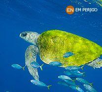 Tartaruga Oliva. Lepidochelys olivacea. Zona Costeira. Instituto Chico Mendes de Conservação da Biodiversidade - Destaque - Tartaruga Oliva