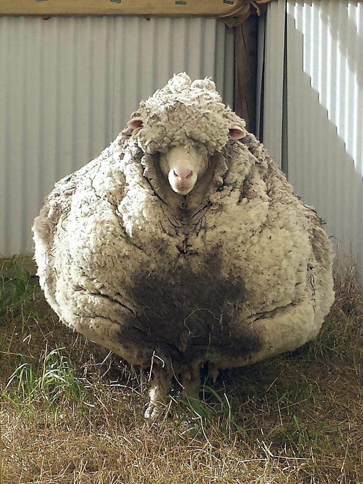 - Carneiro Chris que ficou anos perdido foi tosquiada e gerou mais de 40 quilos de lã em Camberra, na Austrália. Foto: RSPCA / EFE