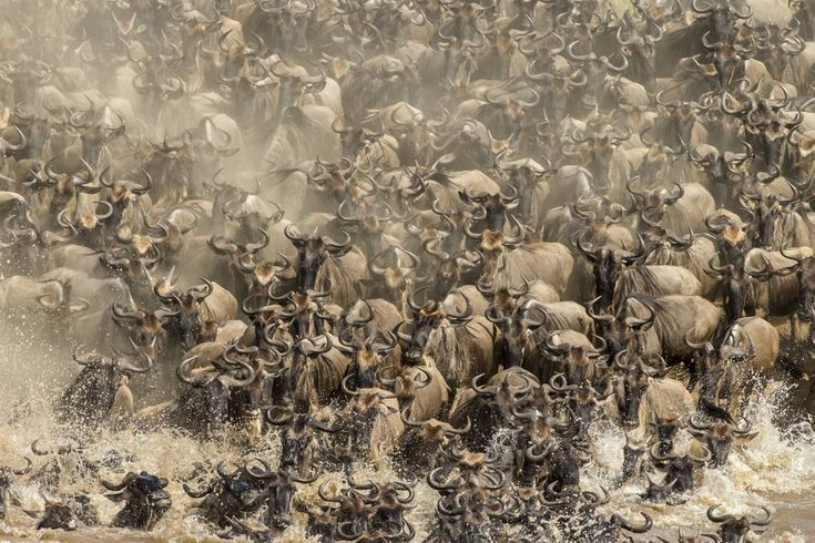 Indian photographer Sonalini Khetrapal's photo of wildebeest crossing the Mara river