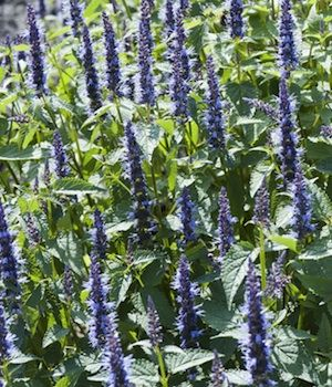 126 best blue flowers friends images on pinterest blue flowers agastache indigo towers egmont seed company ltd online seed sales mightylinksfo Image collections