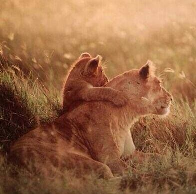 Immagine di lion, animal, and nature