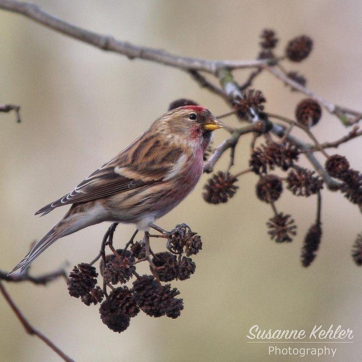 Birkenzeisig - Carduelis flammea - Redpoll. 🌿🌿🌿🌿🌿🌿🌿🌿🌿🌿🌿🌿🌿🌿#naturelovers #nature #Majestic_Wildlife #fabulous_shots #worldbestgram #kings_birds #bestbirdshot #nuts_about_birds #pocket_birds #eye_spy_birds #bird_brilliance #your_best_birds  #photooftheday  #birkenzeisig #redpoll #carduelis #carduelisflammea