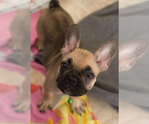 Puppyfinder Com View Ad Photo 6 Of Listing French Frenchies French