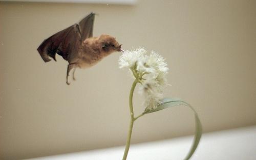 li'l bat: Things Bats, Bats Tattoo, Adorable Bats, Bats Houses, Beautiful Bats, Bats Bats, Li L Bats, Bats Eating, Growing Things